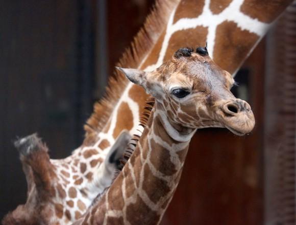 Giraffe geboren in Artis. Foto Artis, Ronald van Weeren