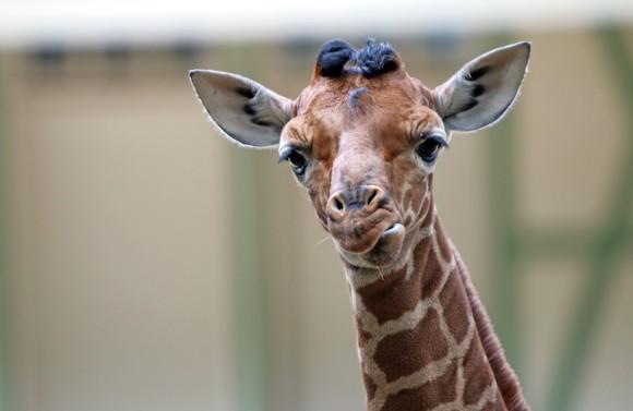 Het giraffeveulen in Artis tijdens haar eerste ontmoeting met de buitenwereld. Foto Artis, Edwin Butter
