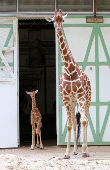 Het pasgeboren giraffeveulen ging vandaag voor het eerst naar buiten. Foto Artis, Edwin Butter