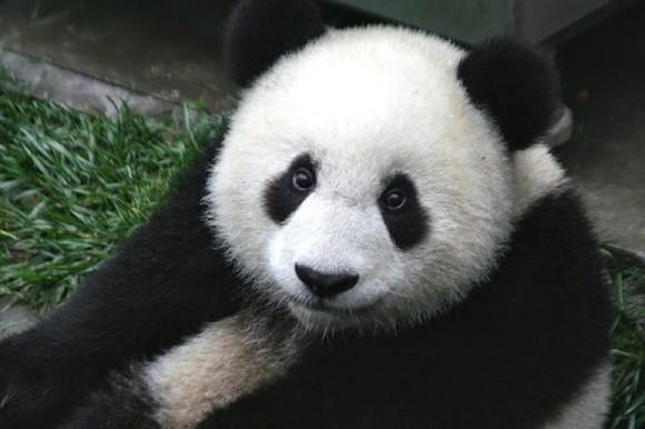 panda-649938_640