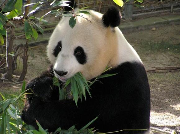 panda-655491_640