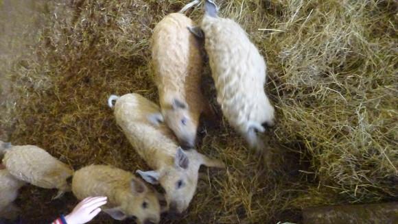Limburg wolvarkens bij natuurpoort De peel
