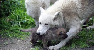 Hudson Bay wolf pakt welp op. Foto Artis, Edwin Butter