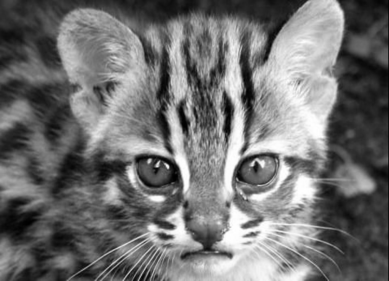 tijgerkat